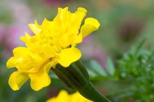 gul blomma i full blom foto