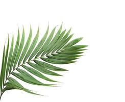 palmblad med kopieringsutrymme på vitt foto