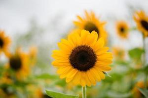 närbild av en blommande solros i ett fält med suddig naturbakgrund foto