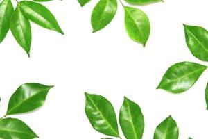 glänsande gröna blad på vitt foto