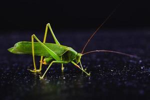 grön gräshoppa på mörk bakgrund foto