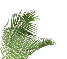två kokosnötsblad foto