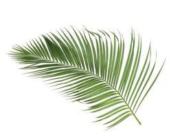 isolerad kokosnötgren foto