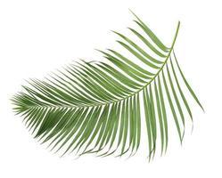 kokosnöt gren på vitt foto
