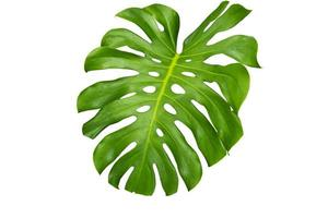monstera blad isolerade foto