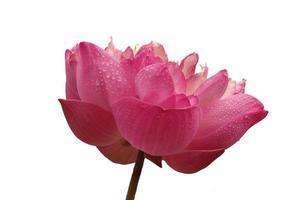 rosa lotusblomma på vitt foto