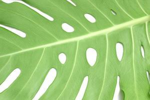 monstera leaf detalj på vit bakgrund foto