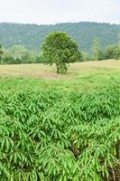 kassava gård i Thailand foto