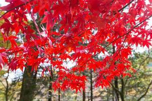 röda höstlöv i Japan foto