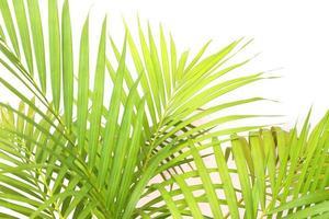 levande gröna palmblad på vitt foto