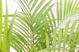 ljusgröna palmblad isolerade foto