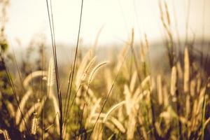 vitt fontängräs vid gyllene timmen