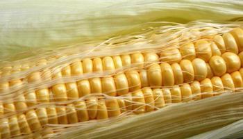närbild av rå majs foto