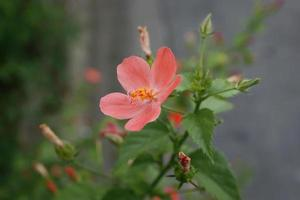 rosa hibiskusblomma