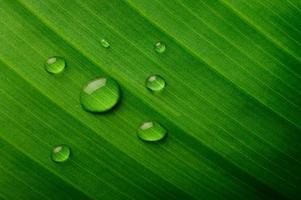 många droppar vatten på bananblad foto