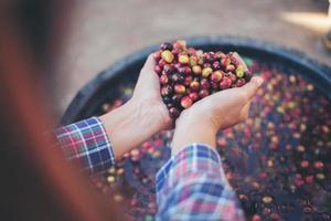 närbild av råa röda bärkaffebönor på lantbrukshand foto
