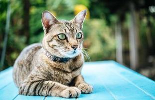 närbild av en tabby katt på en blå yta foto