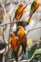 färgglada sun conure papegojor foto