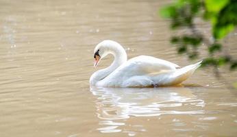 vit svan som flyter på en sjö