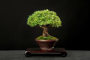 traditionell japansk bonsai foto