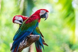 två färgglada ara foto