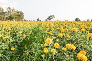 gul ringblommaträdgård med blå himmel foto