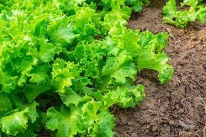 sallad som växer i marken