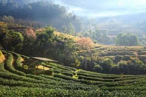 morgondimma på terrassen av te vid doi angkhang i Chiangmai, Thailand foto