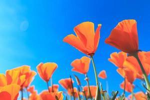 vallmofält och vildblommor i solljus under en blå himmel foto