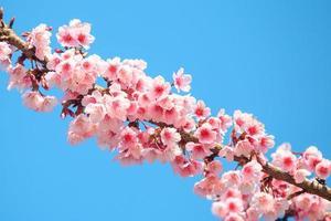 rosa körsbärsblom med blå himmel