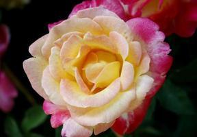 rosa och gul ros foto