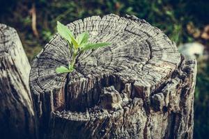 litet träd som växer ut ur en stubbe