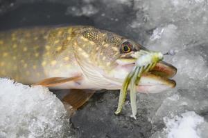 gädda fisk fångad på ett mjukt bete på is foto