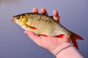 rutilus fisk i handen foto