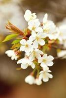 körsbärsblom på våren foto