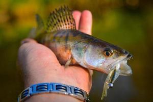 zender fisk i en hand foto