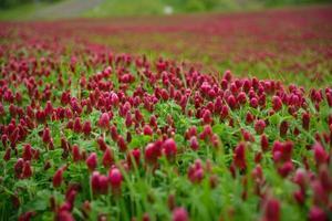 röda klöver i ett fält