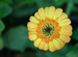 orange gerberablomma foto