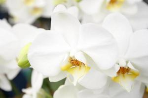 vita orkidéblommor foto
