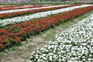 röda och vita rader av blommor