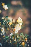 blommor av en mini rosbuske foto
