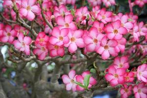 rosa blommor på en buske foto