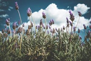 lila blommor av en lavendel buske foto