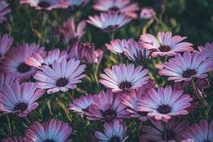 blommor av afrikansk tusensköna foto