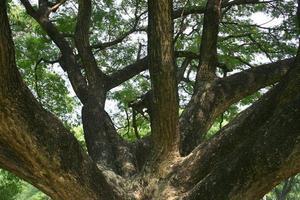 stort gammalt träd foto