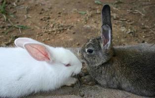 vita och bruna kaniner foto