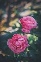 känsliga rosa randiga rosor i blom foto