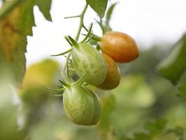 gröna och röda tomater foto
