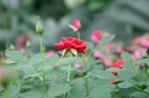 rosblommor i en trädgård