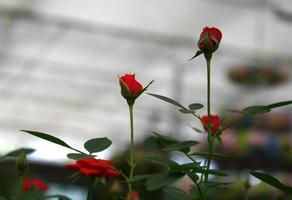 röda rosor i ett växthus